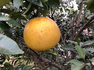 晩白柚収穫6