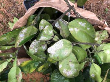 晩白柚収穫7