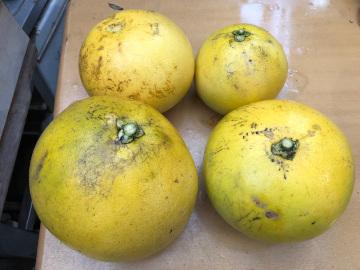 晩白柚収穫9