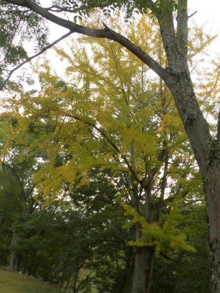 イチョウの黄葉 1