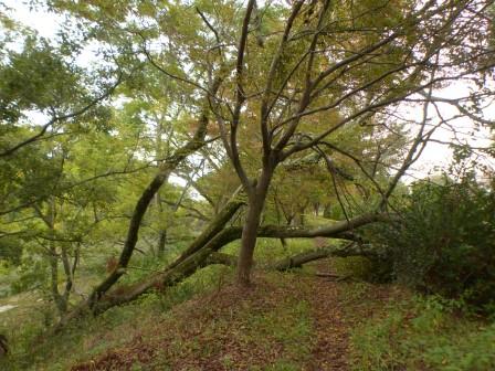 倒れたセンダンの木