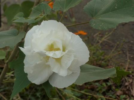 白い八重のフヨウ