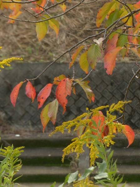 桜の紅葉 & セイタカアワダチソウ