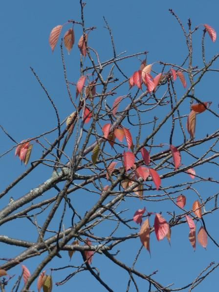桜の紅葉 5