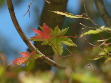 モミジの紅葉 1