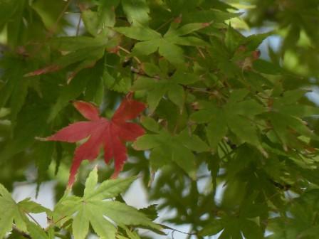 モミジの紅葉 2