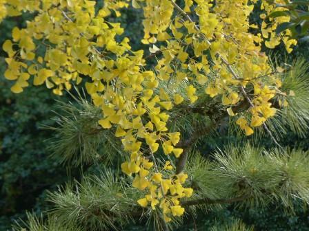 イチョウの黄葉 5