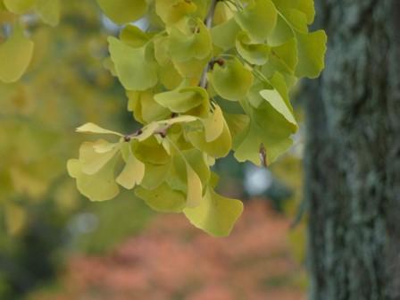 イチョウの黄葉 4