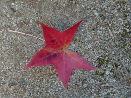 モミジバフウ の落ち葉