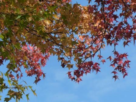 モミジバフウ の紅葉 4