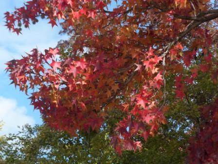 モミジバフウ の紅葉 5