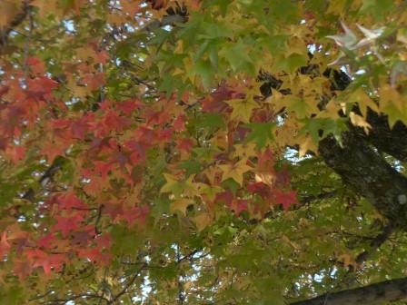 モミジバフウ の紅葉 7