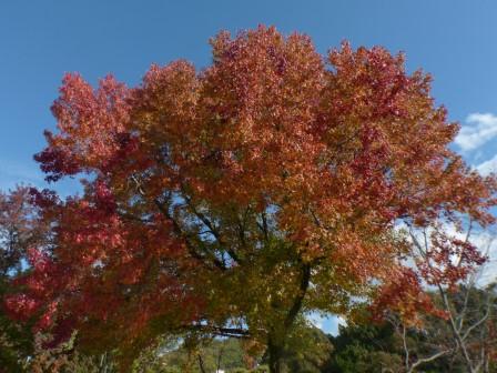 モミジバフウ の紅葉 2