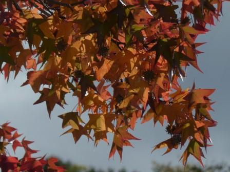 モミジバフウ の紅葉 9