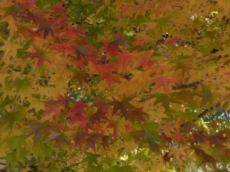 モミジバフウ の紅葉 8
