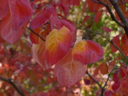ハナミズキ の紅葉 2