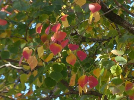 ナンキンハゼ の紅葉 3