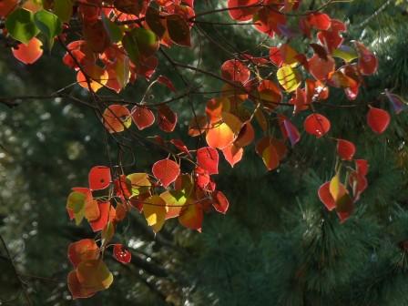 ナンキンハゼ の紅葉 4