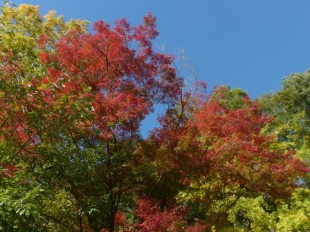 イロハモミジ の紅葉 1