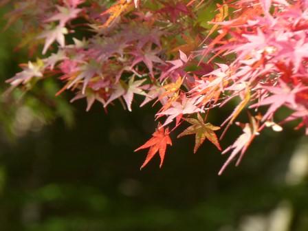 イロハモミジ の紅葉 2