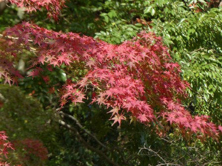 イロハモミジ の紅葉 3