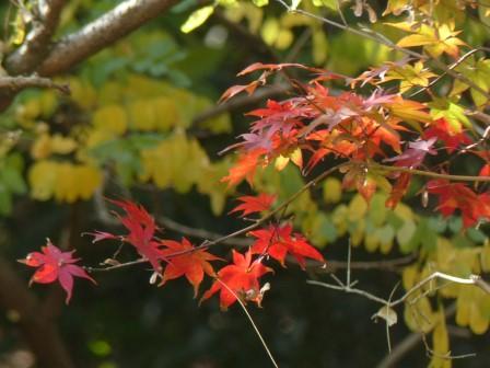 イロハモミジ の紅葉 4