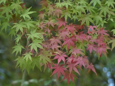 イロハモミジ の紅葉 5