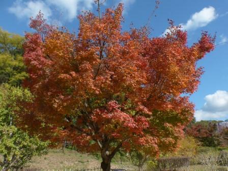 イロハモミジ の紅葉 7