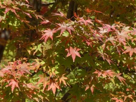 イロハモミジ の紅葉 8