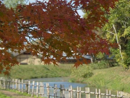 イロハモミジ の紅葉 11