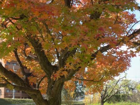 イロハモミジ の紅葉 9