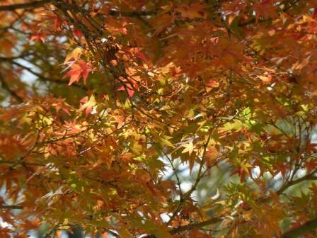 イロハモミジ の紅葉 10