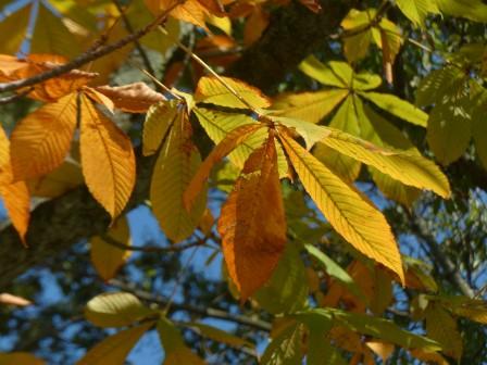 トチノキの黄葉 3