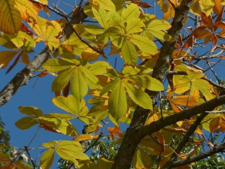 トチノキの黄葉 4