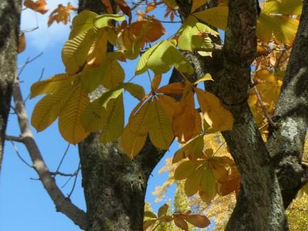トチノキの黄葉 2