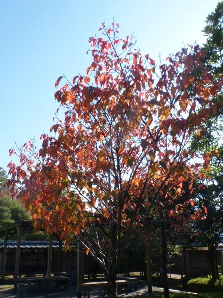 松山城二之丸史跡庭園 桜の紅葉 1