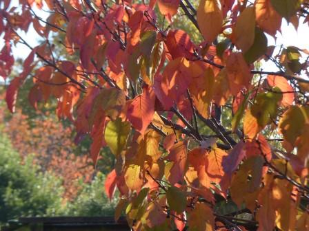 松山城二之丸史跡庭園 桜の紅葉 2