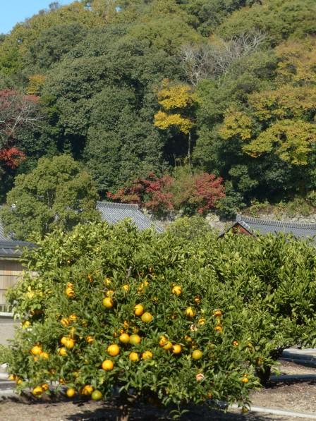 松山城二之丸史跡庭園 柑橘と紅葉
