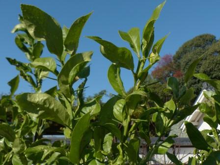 松山城二之丸史跡庭園 レモンの木