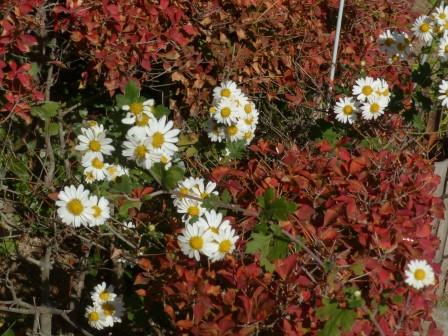 松山城二之丸史跡庭園 キク科の花