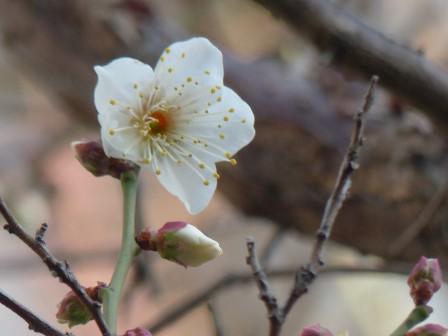 庭の白梅 3