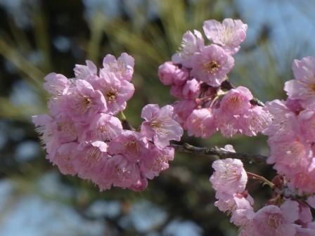 道後公園 椿寒桜 1