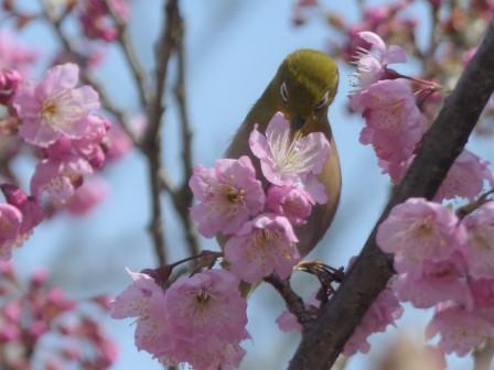 椿寒桜 & メジロ 4