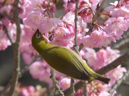 椿寒桜 & メジロ 5