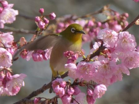 椿寒桜 & メジロ 10