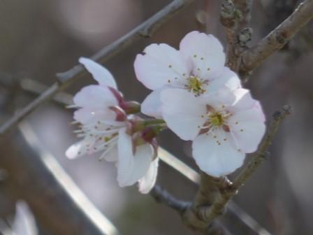 十六日桜 9