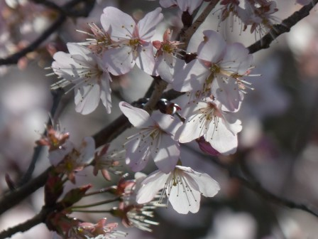 十六日桜 10
