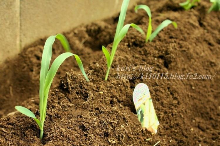 2020家庭菜園開始 (5)