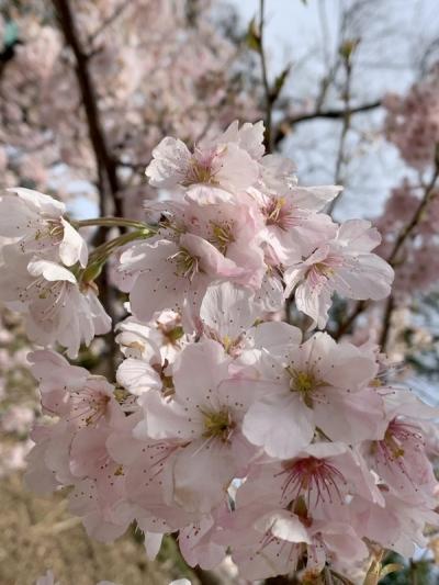 春めき桜2