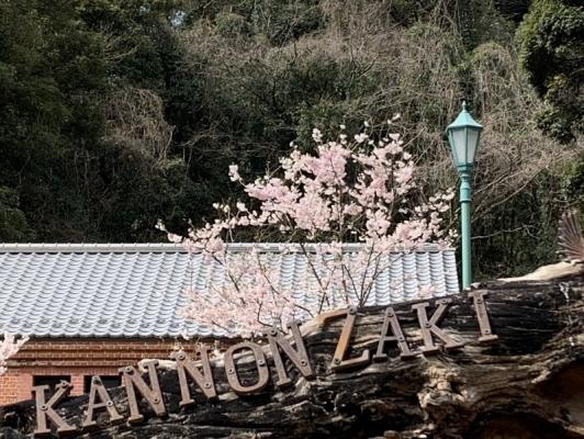 春めき桜4